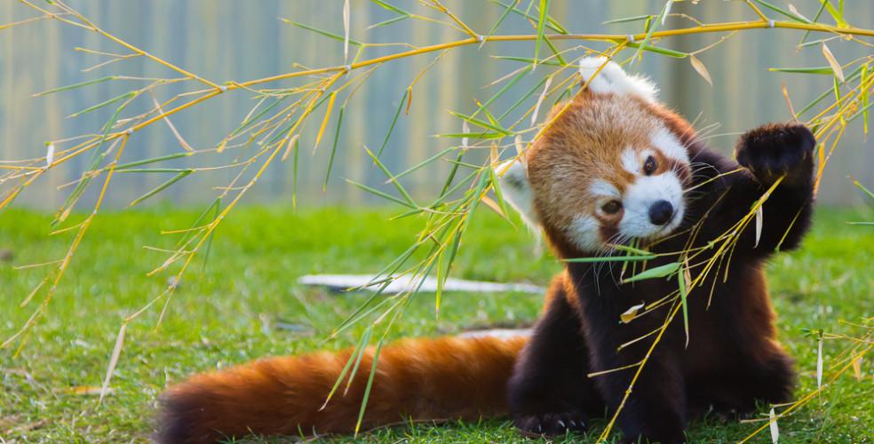 red-panda-984x500